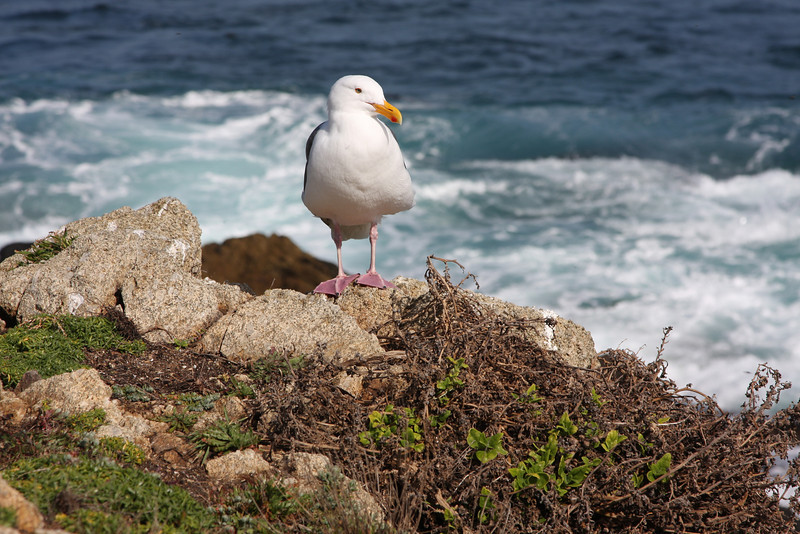 Seagull near Pebble Beach