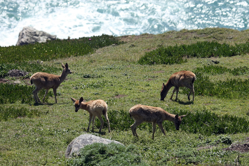 Deer at Point Reyes