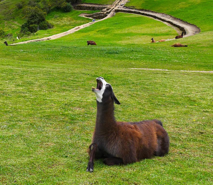 Laughing llama, Ingapirca