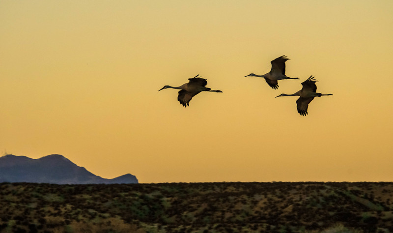 16  Fly-in at sunset, Bosque del Apache National Wildlife Refuge, New Mexico
