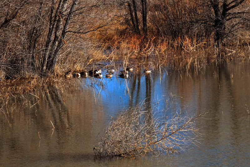 20  Ducks at rest, Bosque del Apache National Wildlife Refuge, New Mexico