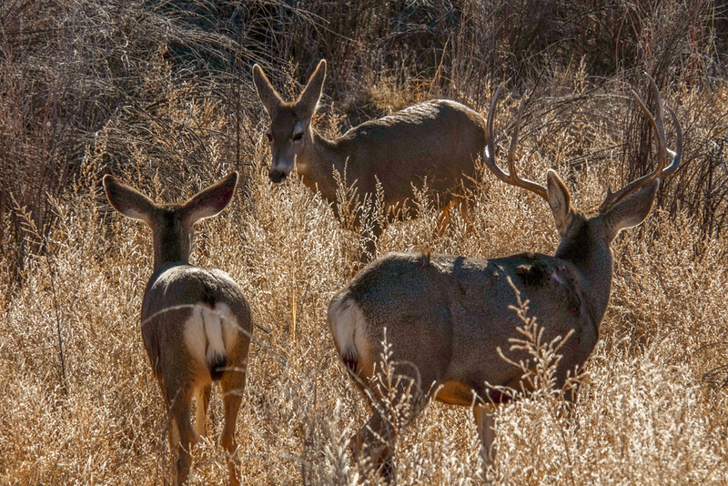 18  Mule deer, Bosque del Apache National Wildlife Refuge, New Mexico