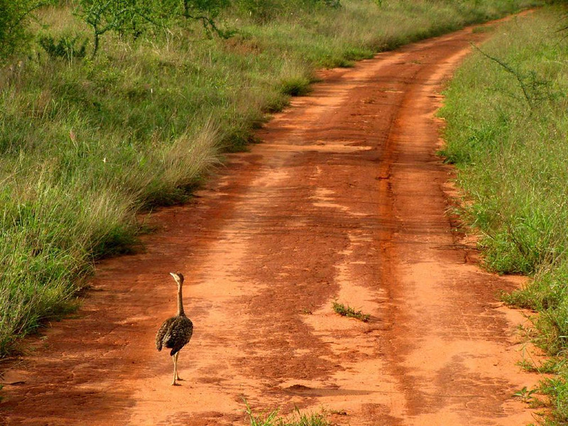 A Bustard leads the way - A bustard, known by it's long neck and stately walk, guides our safari vehicle down a long red clay road in Kenya's Tsavo National Park.