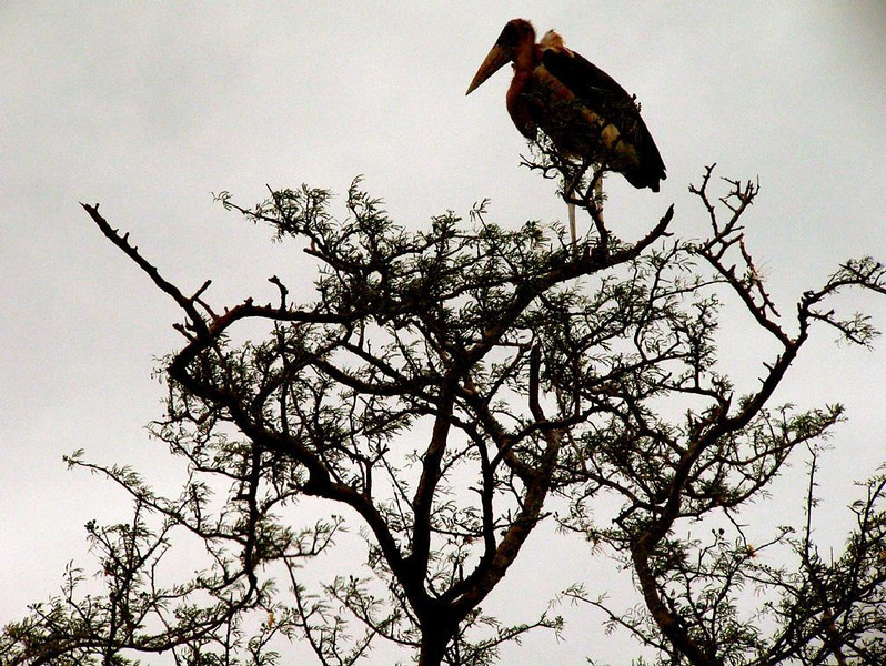 Marabou Stork at dusk - A Marabou Stork perches on a prickly tree in Kenya's Amboseli National Park. These storks destroy locusts and grasshoppers and join with vultures to clean up after big game.