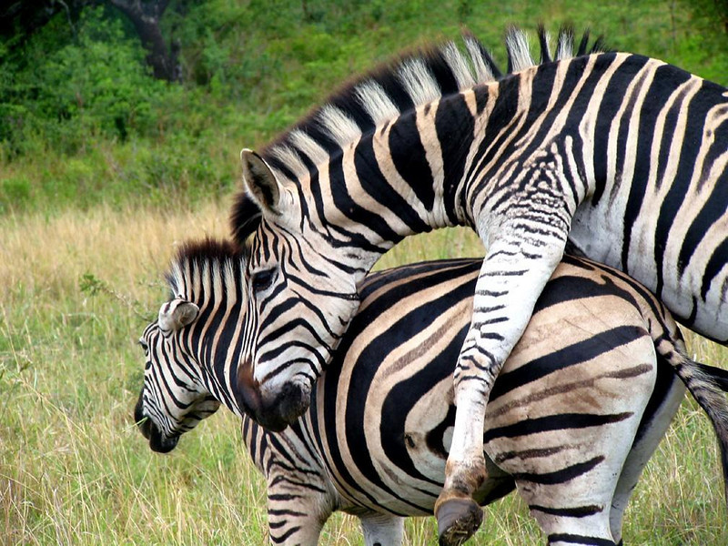 Mating Season - Moments after entering South Africa's Hlhluwe-Umfolozi Game Reserve, a pair of zebra began mating only a few yards from our vehicle. Shortly after I took this picture, the female rejected the male's advances and moved away to continue her grazing.