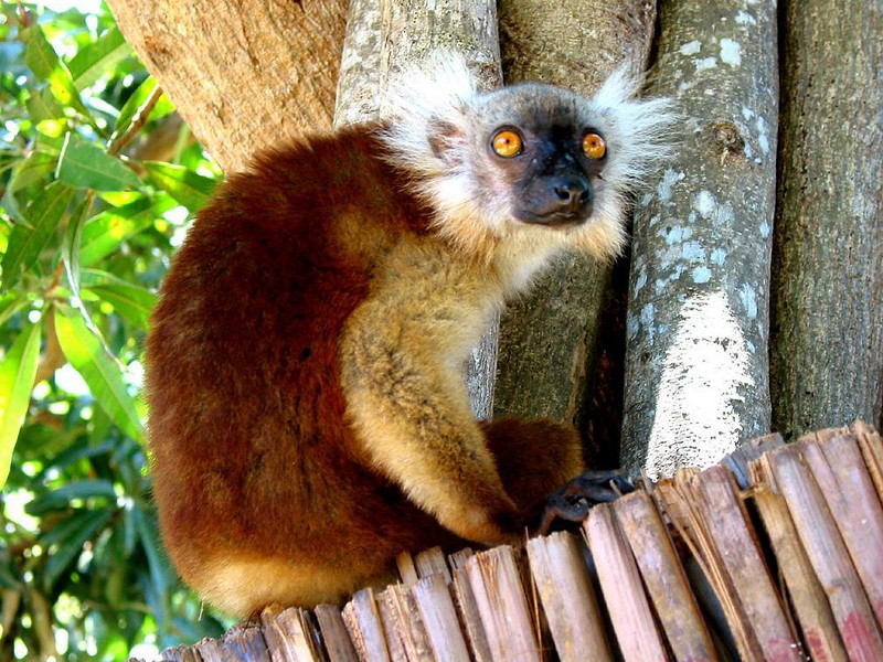 Lemur sits for a portrait - Visitors come to Madagascar to see its Lemurs. Some live in the trees of Nosy Komba's Ampangoriana village, including this one, sitting on a fence.
