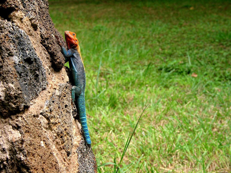 Colorful climber - A lizard, decked out in orange, blue, and green, decorated the stone wall just outside our room at Kiliguni Lodge in Kenya's Tsavo National Park.
