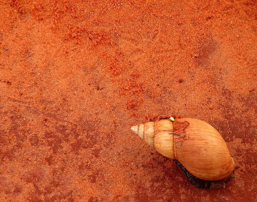 Making tracks - A large snail leaves its tracks on the red roads in Kenya's Tsavo National Park.