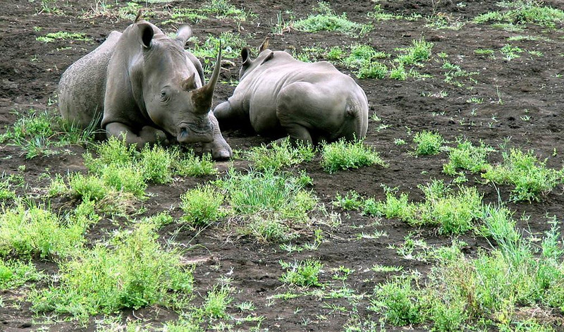 Rhino at rest - A pair of White Rhinos rest in the mud of South Africa's Hluhluwe-Umfolozi Game Reserve. Hluhluwe saved the White Rhino from extinction and all the White Rhino in Africa today are descended from the park's herds.