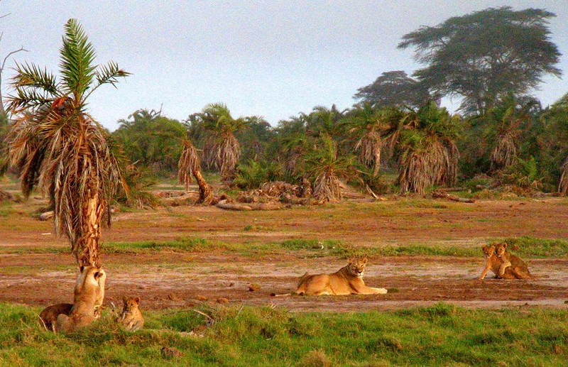 Mother in the middle - A lioness in Kenya's Amboseli National Park has to keep a watchful eye on two groups of cubs. One of the cubs at left is trying to climb a small palm tree, while one of the cubs at right is trying to get a free ride.