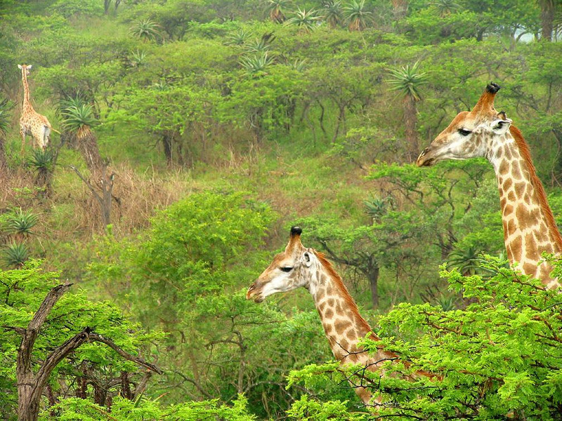 Creatures of the forests - On safari in South Africa's Tala Game Reserve, we viewed many giraffe families grazing in the forests. This particular group seems to float above the trees.
