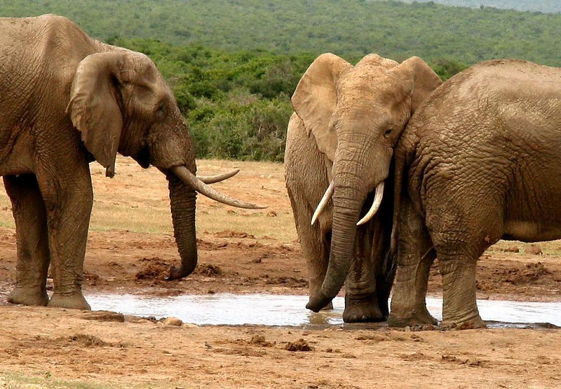 Make way for a newcomer - A bull elephant, recently imported to South Africa's Addo Elephant Park from Kruger National Park, claims his spot at a water hole with a gentle shove.