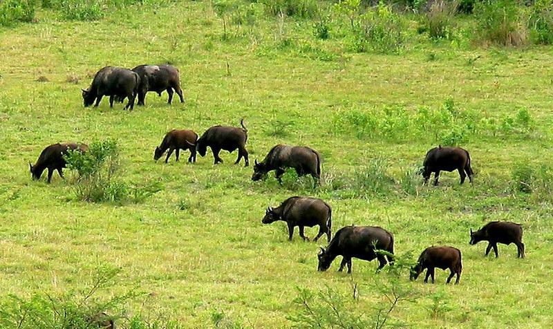 Grazing Cape Buffalo - I photographed this herd of Cape Buffalo as it grazed some distance away in South Africa's Hluhluwe-Umfolizi Game Reserve. I created the diagonal rhythmic pattern by cropping the picture so that only buffalo with heads pointed down were included in the frame.