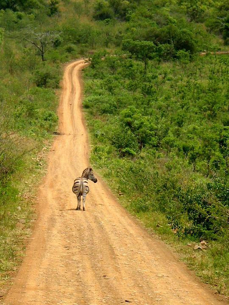 Zebra Right of Way - A lone zebra takes over a stretch of road in South Africa's Hluhluwe-Umfolozi Game Reserve.