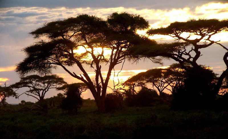 Acacia sunset - The umbrella-like Acacia tree a common sight in the African bush. These make a handsome screen for a sunset in Kenya's Amboseli National Park.