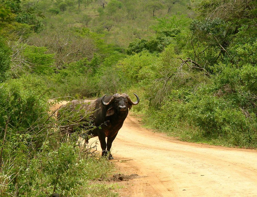 Road Block - Many say the Cape Buffalo is the most dangerous of Africa's big game animals. This one suddenly blocked our way as we came around a curve in South Africa's Hluhluwe-Umfolozi Game Reserve. We stopped, the buffalo stared us down, saw no threat, and vanished into the bushes.