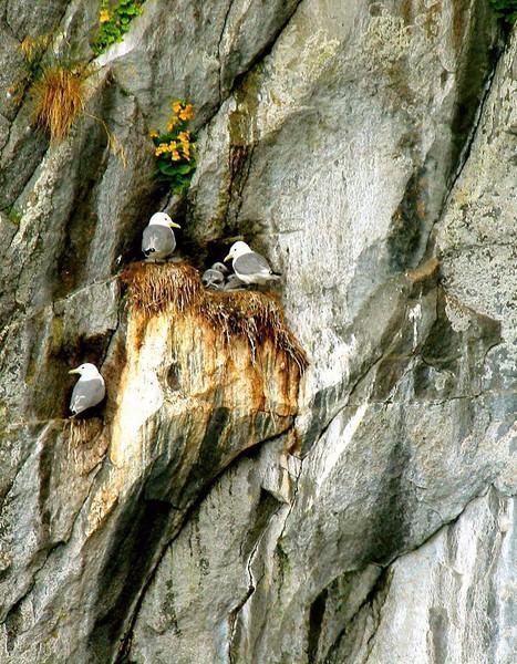 Kittiwake Nest, Kenai Fjords - Tiny chicks can be seen in this Kittiwake nest in Kenai Fjords National Park.