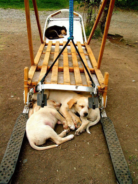 Double Duty - When not in use, dog racing sleds are used as beds for future racers. An entire litter makes use of this sled at Iditarod Headquarters near Talkeetna.