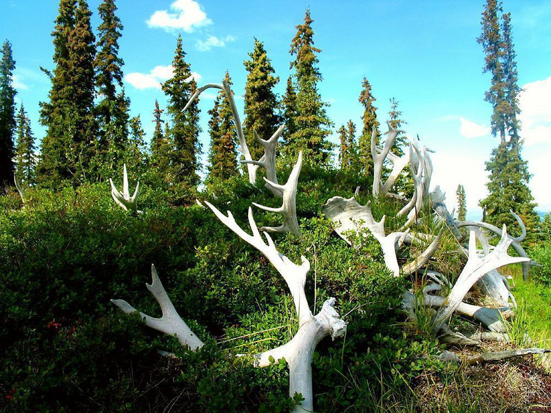 A roof of Antlers - The roof of a sod house near Paxon, built more than 50 years ago, sprouts a thicket of caribou antlers.