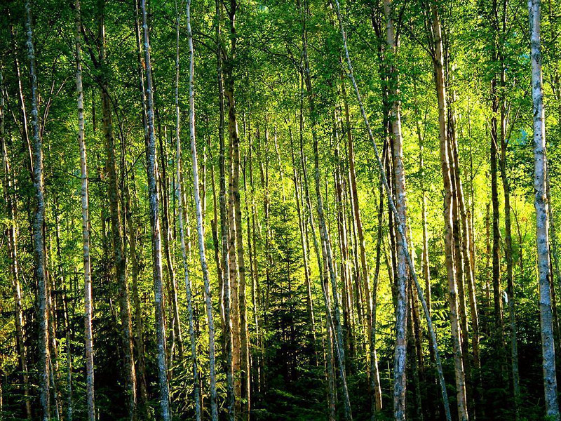 Dusk falls on the Aspens of Hope - The setting sun floods a grove of Hope's Aspen with golden light.