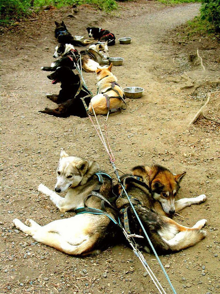 In Harness - Mature sled dogs rest in harness at Iditarod Headquarters. In summer they haul tourists riding in all-terrain vehicles, good training for the event they are bred for -- the 1,131 mile long annual Iditarod sled-dog race from Anchorage to Nome.