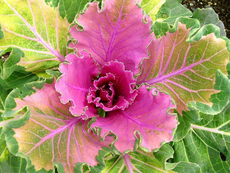 "Collosal Kale - The ""Midnight Sun"" helped grow this colorful flowering kale to huge proportions. It flourishes at the Alyeska Ski Resort near Girdwood."