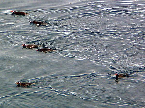 Gentoo Penguins Swim in Paradise Bay - Gentoos out for a meal. Wary of predators such as seals, they seek safety in numbers by swimming in small groups, both on the surface and under the water, as they search for food.