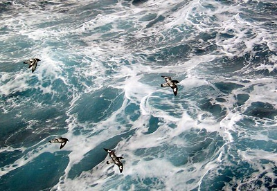 Quartet of Petrels, Drake Passage - We are over the heaving swells of the Drake Passage once again, heading back to Argentina from our Antarctic adventure. Four Petrels escort our pitching and rolling ship home through 30 high foot waves.