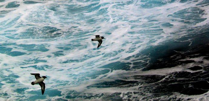 Two Petrels - We began seeing Antarctic life off the South Shetland Islands -- here two Petrels get a free ride in the wake of our ship.
