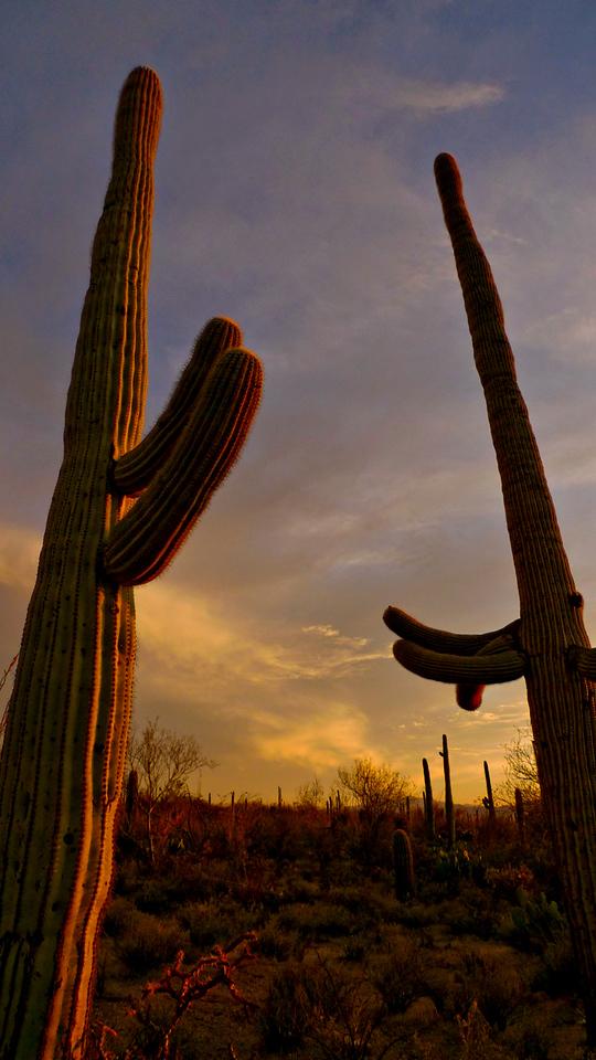 Saguaro greeting, Tucson