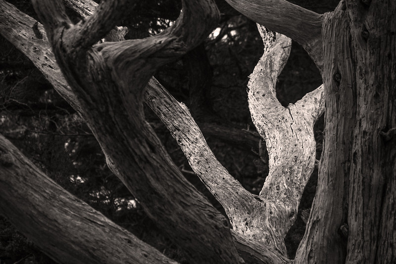 Dancing tree trunks, Point Lobos, California