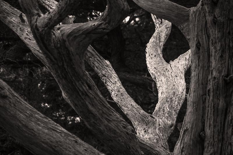 Dancing tree trunks, Point Lobos, California