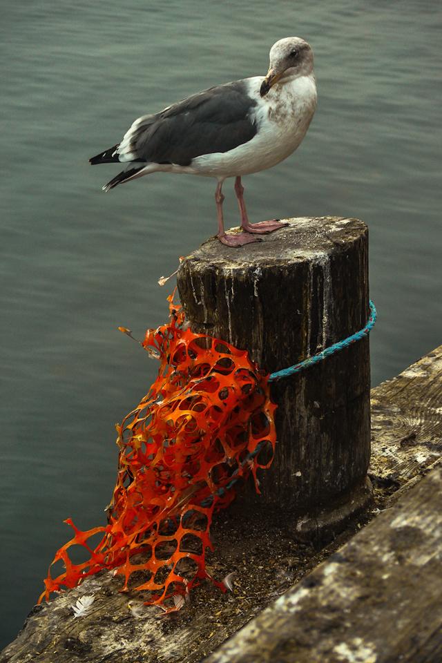 Gull, Fisherman's Wharf, Monterey, California