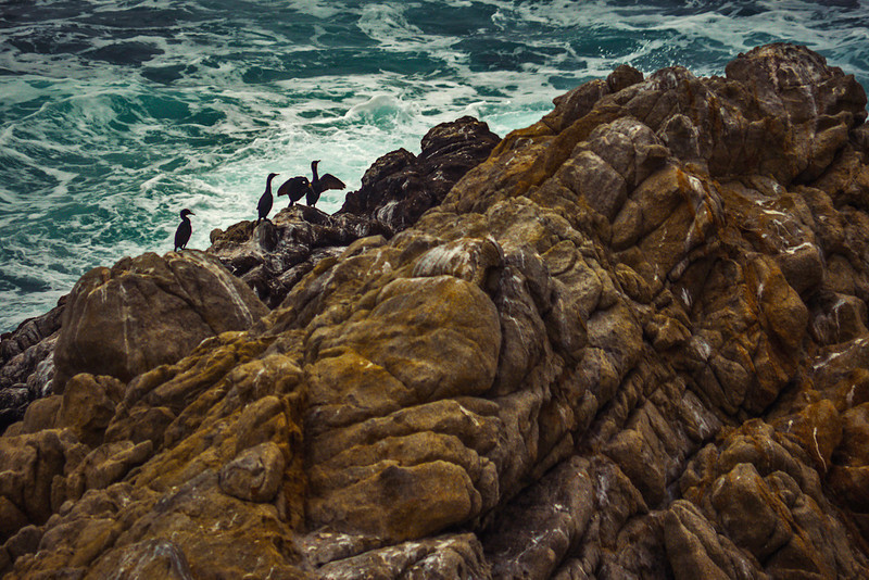 Cormorants, Point Lobos, California