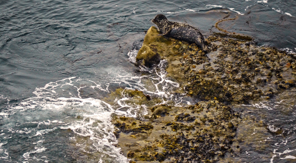 Harbor Seal, Point Lobos, California