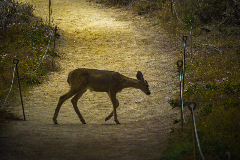 Fawn, Point Lobos, California
