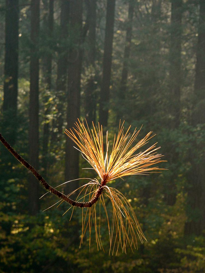 Pine Needles, Merced River - A cluster of fading pine needles echo the thrusting trunks of other pines that stand on the opposing bank of the Merced.