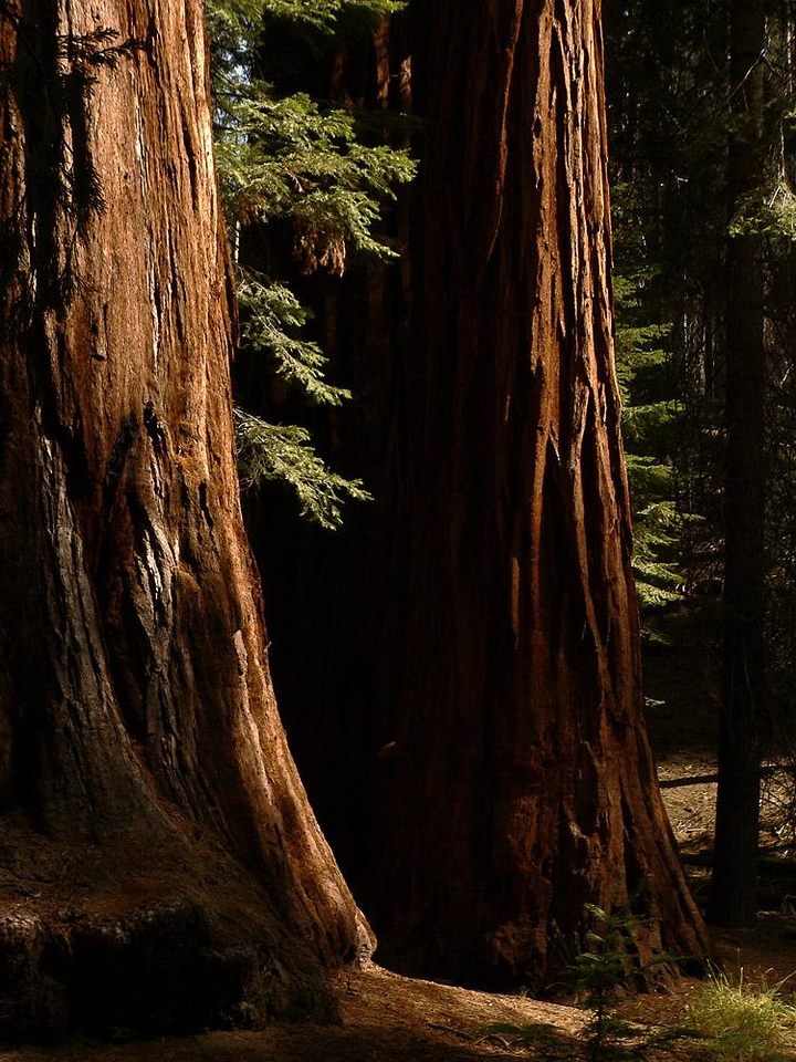 Giant Sequoias, Mariposa Grove - About 35 miles south of Yosemite Village is Yosemite's largest grove of Redwoods. They are the largest of all living things, and many have endured for thousands of years