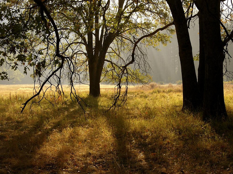 Stoneman Meadow - Near the heart of the Yosemite Village area is this broad meadow of golden grass, glowing in dappled sunlight filtering through its old trees.