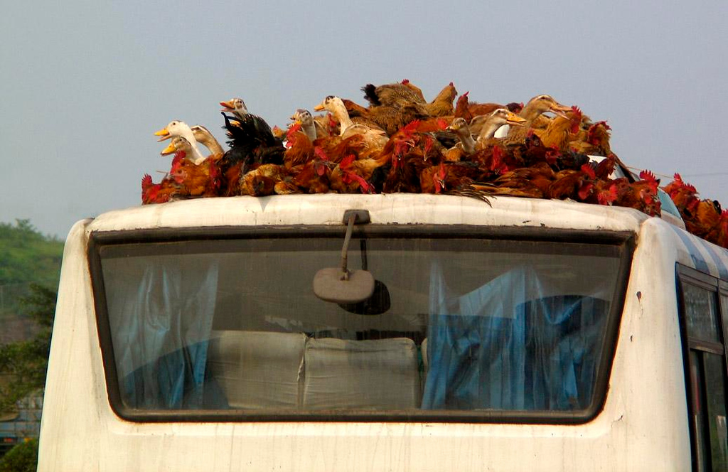 Strange passengers on the Chongqing bus - On the way from Chengdu to Chongqing, I noticed this gang of live roosters and geese somehow affixed to the roof of an intercity bus. Characteristic of rural China, this incongruous scene made a strange and unsettling photograph.