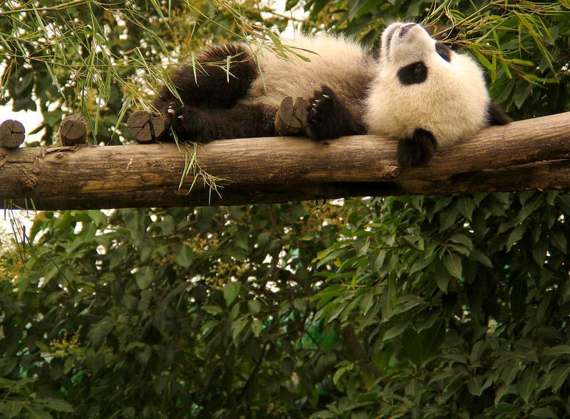 Giant Panda, Chengdu Research Facility - Over a dozen Giant Pandas are being raised, cared for and bred at Chengdu's Panda Research Facility. Here a cub takes a rest on an overhead log. Nowhere else on earth are so many Giant Pandas concentrated together in one place.