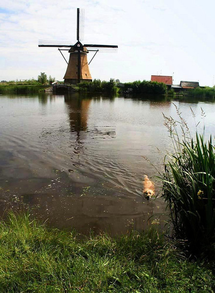 A swim at Kinderdijk - Kinderdijk features nearly 20 windmills, built around 1740 to drain water from reclaimed land below sea level and pump it into nearby rivers and canals. It is the largest concentration of windmills in the world.