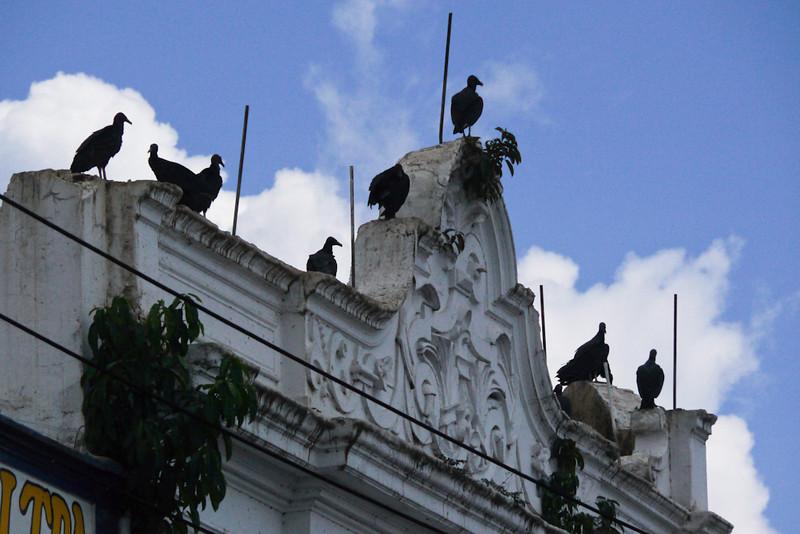 Vultures, Belem