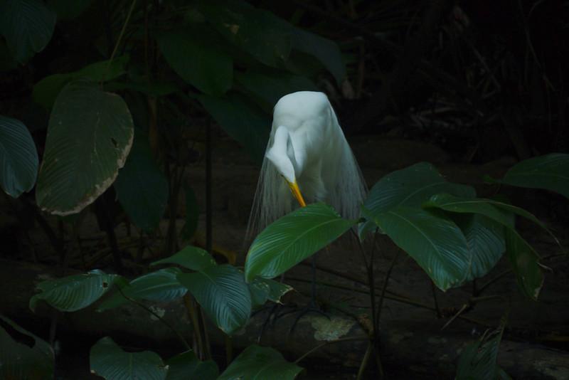 Egret, Belem