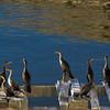 54 Cormorants, Inland Waterway, off Georgia coast