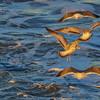 56 Gulls at sunset, Inland Waterway, off Georgia Coast