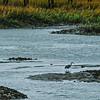 10 Heron, near Beaufort, SC