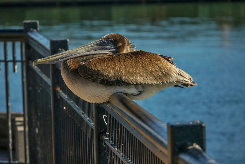 Railbird, Pensacola, Florida