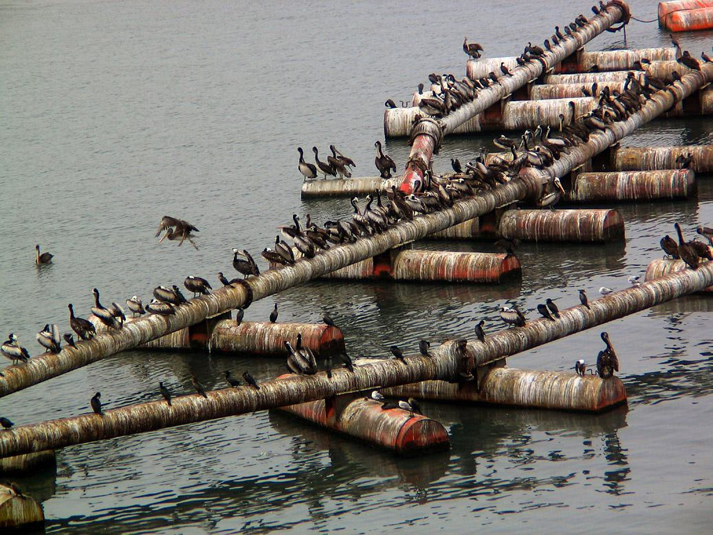 Seabird Central, Salaverry, Peru - Hundreds of Peruvian Pelicans and Cormorants dry their feathers on a maze of floating pipes in Salaverry harbor.