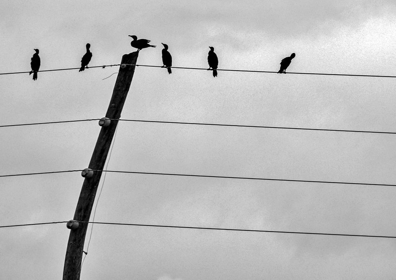 18  Cormorants, Tamiami Trail, Florida